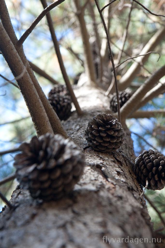 Kottarna växer på träden