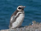Soldyrkande pingvin