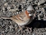 Sångfågel